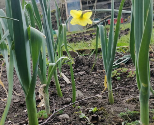 Growing Leeks, The Bridge Cottage Way